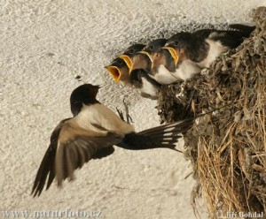xelidoni barn-swallow-29748