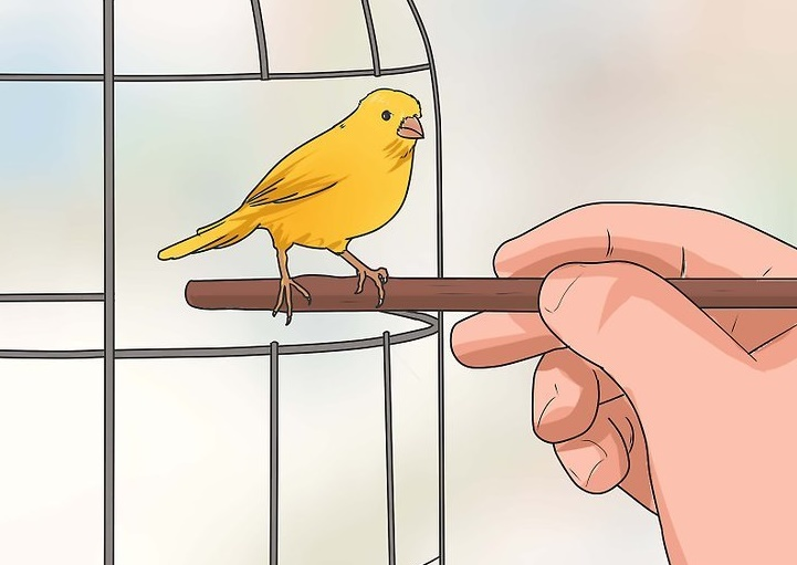 aid1243482-v4-728px-Train-Your-Canary-Step-9-Version-2