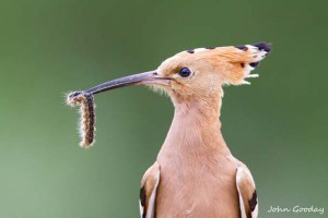 Close-up of a Eurasian hoopoe (Upupa epops) with a freshly caught catapiller. Side view, soft focus green background.