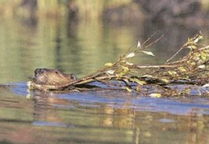 κάστορας ποτάμι