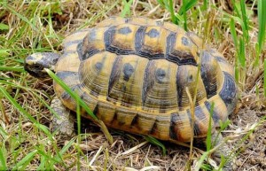 χελώνα1