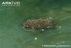 Hedgehog-swimming