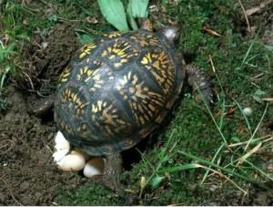 box_turtle_laying_eggs_3h5870