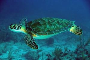 Εικόνα 6 (Χελώνα Caretta-Caretta)