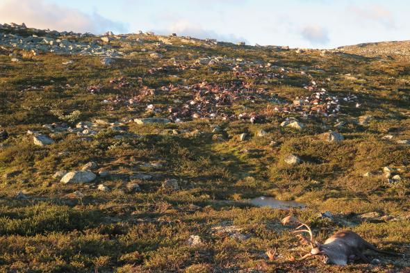 300 νεκροί τάρανδοι Νορβηγία