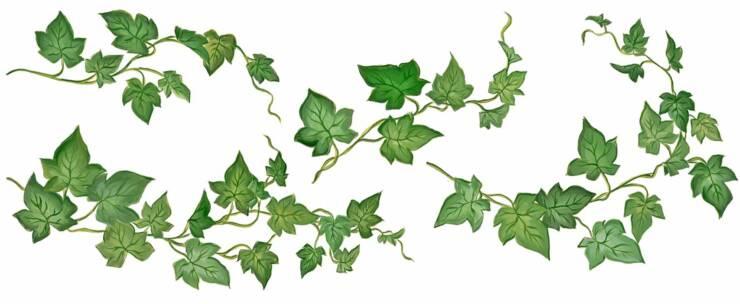 http://blogs.sch.gr/greenteens/files/2011/02/Ivy.jpg