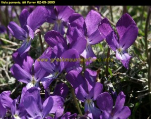 Viola parnonia, Peloponnese