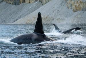 05_ORCAjpg Kopie