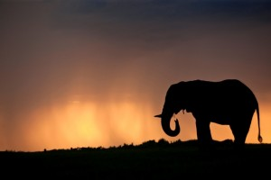 Elephant bull silhouetted against a stormy sky at sunset in the Okavango Delta in Botswana