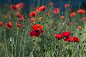 poppies-384926__340