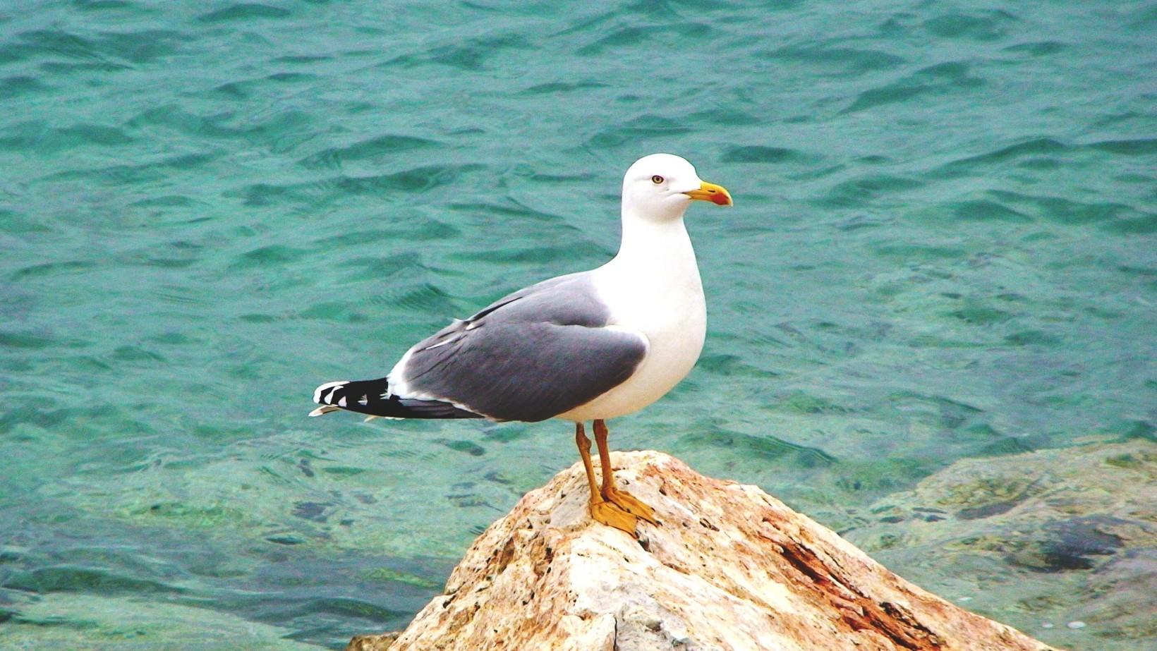 Γλάρος, ο καλύτερος ψαράς της Πάχης