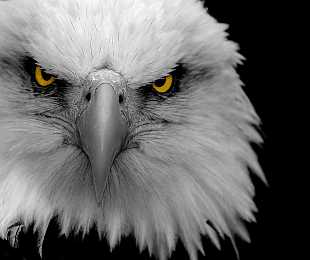 animal-photography-eagle.jpg