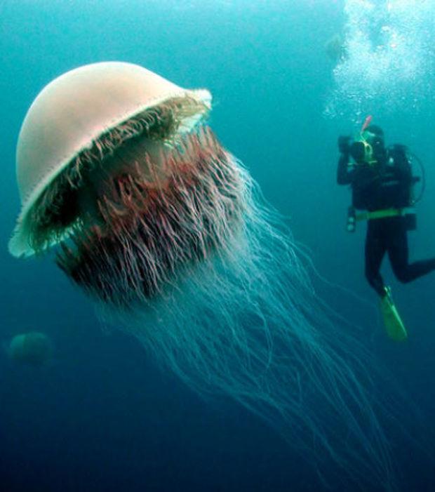 la-meduse-nomura-ou-nemopilema-nomurai-est-l-une-des-plus-grandes-connues-sa-taille-atteint-pour-certains-specimens-deux-metres-de-diametre_66861_w620
