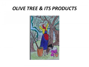 olive tree project