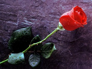 Red-Rose-Free