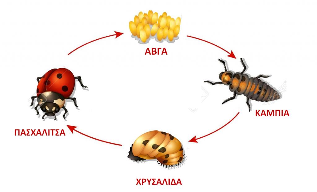 O κύκλος ζωής της πασχαλίτσας