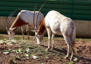 Λευκοί Όρυγκες ένα απειλούμενο ζώο της Αφρικής