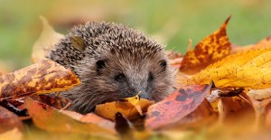 Autumn-Hedgehog-1