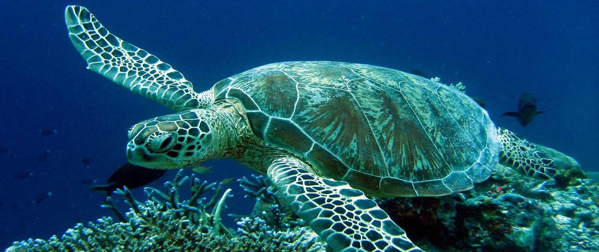Χελώνα καρέτα καρέτα ένα από τα πιο γνωστά ζώα που κινδυνεύουν να εξαφανιστούν