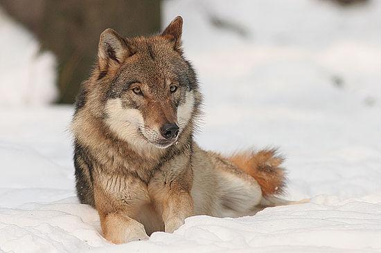 Τι γνωρίζεις για τον λύκο;