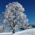 χιονισμένο δέντρο
