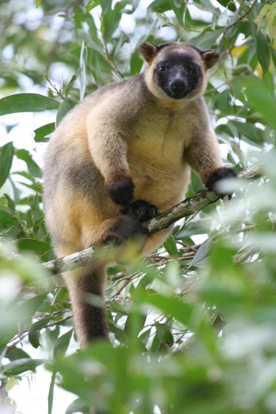 lumholtz-tree-kangaroo