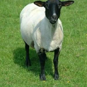 01_16_59---Sheep_web_400x400
