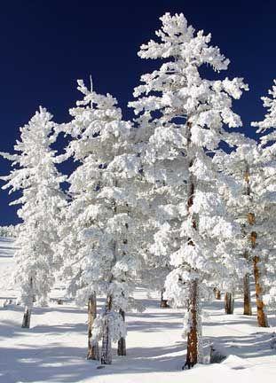 snow-clad-trees-thumb.jpg