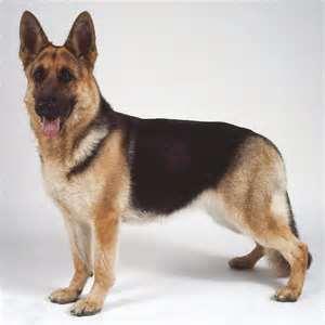 6e0fef22f067 Ο γερμανικός ποιμενικός είναι ράτσα σκύλου γνωστή σήμερα ως λυκόσκυλο. Ο  γερμανικός ποιμενικός είναι ουσιαστικά αποτέλεσμα της μίξης τριών  διαφορετικών ...