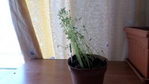 Το φυτό γερμένο προς το φως.