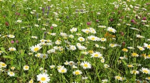 summer-meadow-with-daisies