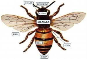 Η μέλισσα έχει