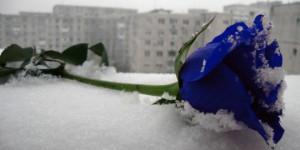 Blue_rose_in_snow__by_Kato_Hinamori-660x330