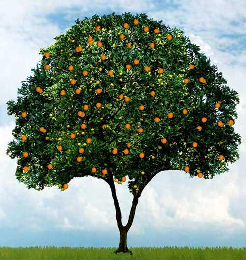 orange_tree500.jpg